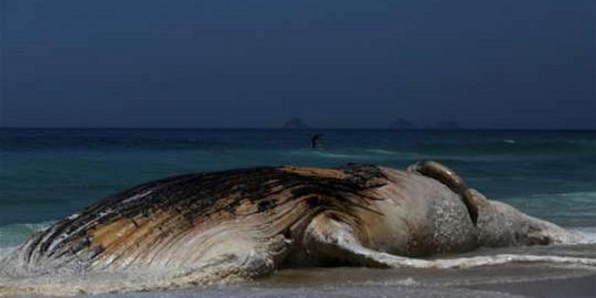 Sahilə çıxan 30 tonluq balina hər kəsi heyrətləndirdi – FOTOLAR