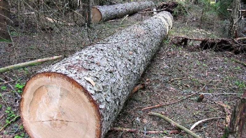Oğuzda ağaclar kütləvi şəkildə məhv edilir – VİDEO