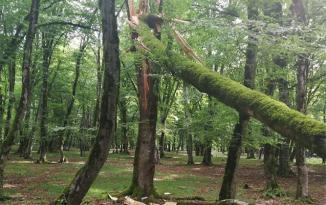 Güclü külək İsmayıllıda ağacları kökündən çıxardı