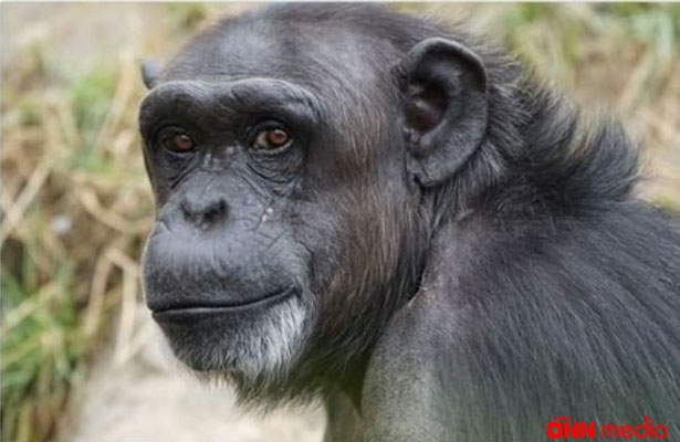 Toylarda şimpanze əti verilir- Şok iddia
