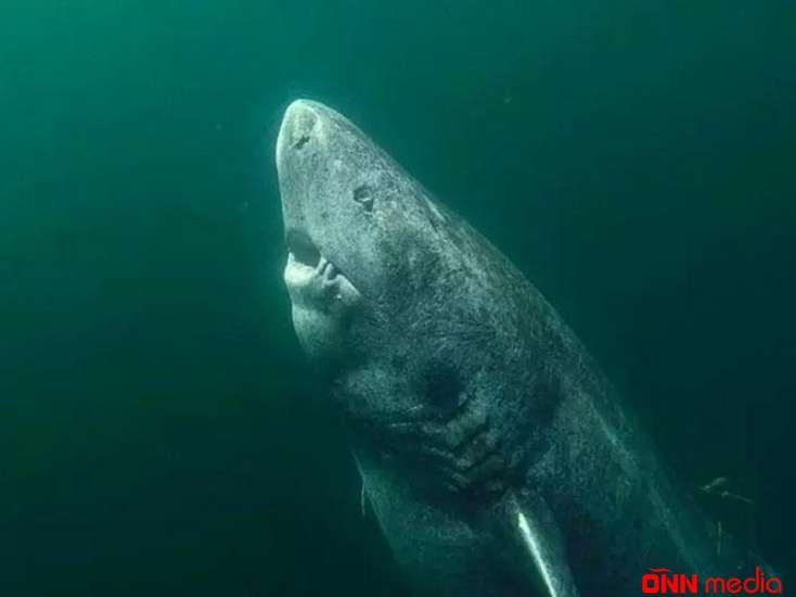 500 yaşlı köpək balığı – Elm dünyası şokda