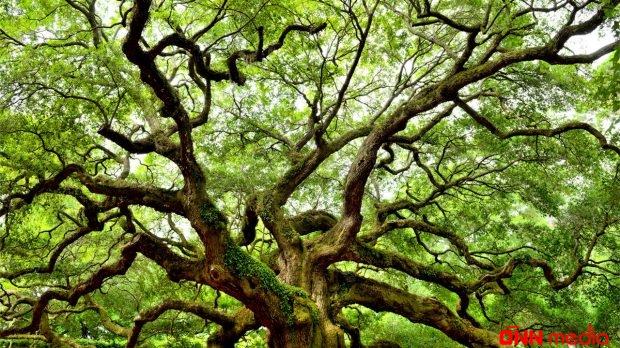 Bakıda 5000 ağac kəsiləcək – AÇIQLAMA – VİDEO