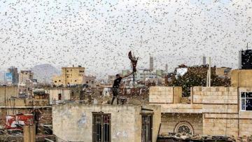 Pakistan Azərbaycana gələn milyardlarla çəyirtkəni belə dayandırdı – VİDEO