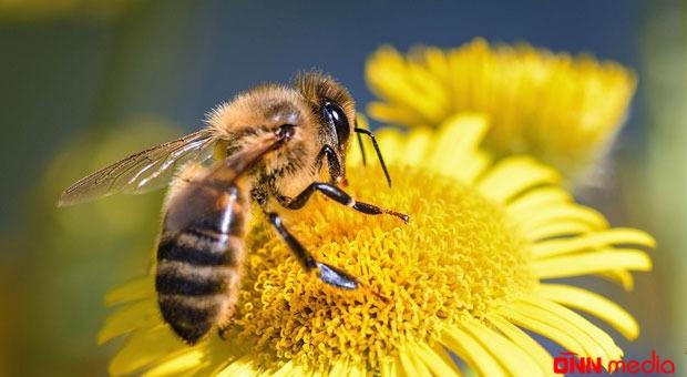 Amerikada ilk dəfə nəhəng arılar göründü